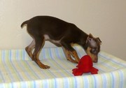 Lovely Miniature Pinscher Puppies Available Now